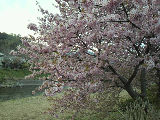 尺メバルと河津桜